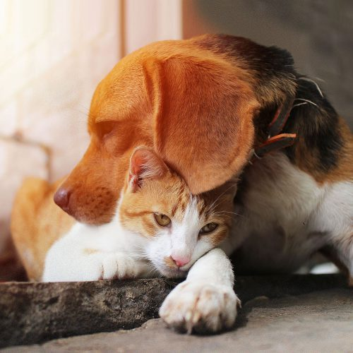 A Beagle and cat together before at-home pet euthanasia by Time2SayGoodbye.