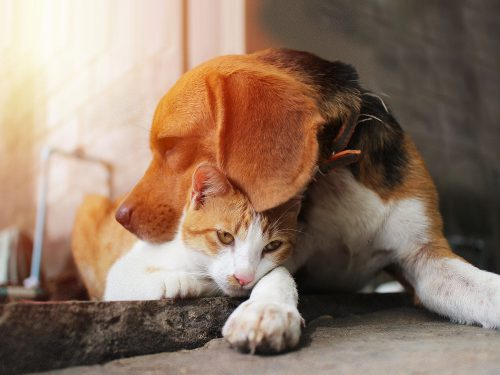 A Beagle and cat together, before at-home pet euthanasia by Time2SayGoodbye.